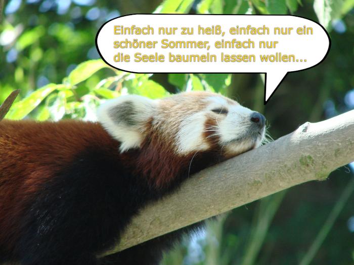 Roter Panda zu heiß
